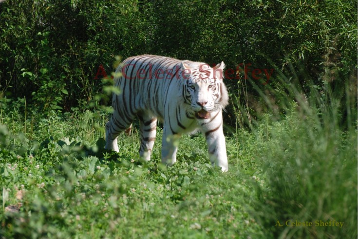 White Roaming Tiger by A. Celeste Sheffey