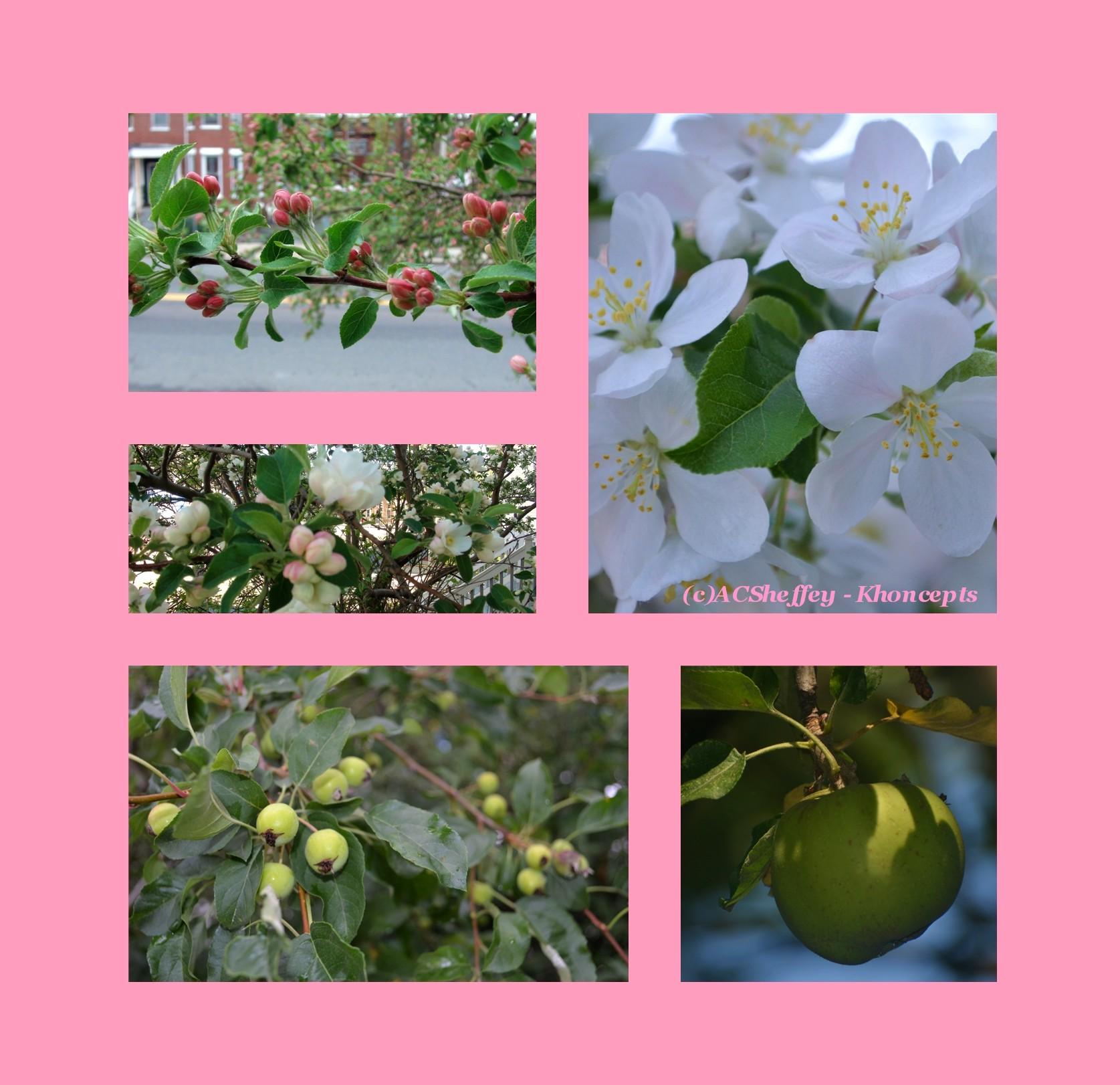 Our Ghetto Fabulous Front Yard Apple Tree (Roxbury, MA