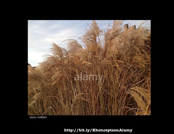 Wheat grass image sold on Alamy.com/Stockimo